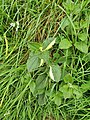 Penzance - red campion leaves.jpg