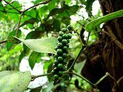 Pepper before ripening