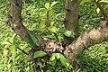 Pereskia grandifolia 43zz.jpg