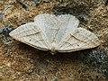 Petrophora chlorosata - Brown silver-line - Пяденица папоротниковая (40935306351).jpg