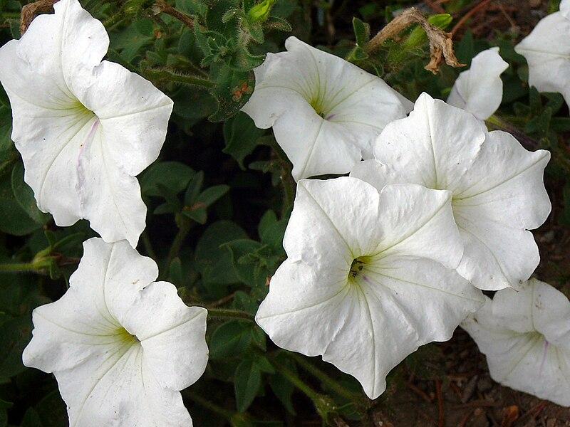 File:Petunia 2.jpg