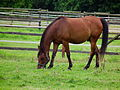 Pferd auf einer Koppel mit Bachstelzen.JPG