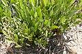 Pflanze im östlichen Caprivistreifen 2.JPG