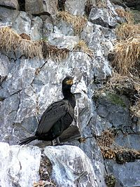 Phalacrocorax aristotelis 02.jpg