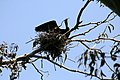 Phalacrocorax auritus nest 3.jpg