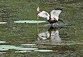 Pheasant-tailed Jacana (Hydrophasianus chirurgus) in Hyderabad W IMG 8421.jpg