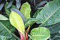 Philodendron Moon Glow 1zz.jpg
