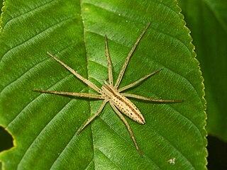 <i>Tibellus</i> genus of arachnids