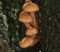Pholiota squarrosa (Shaggy scalycap) - Flickr - S. Rae.jpg