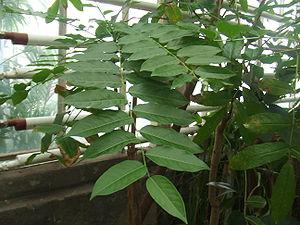 Phyllanthus acidus - Tree in greenhouse