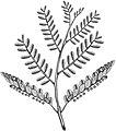 Phyllanthus niruri BYN.jpg
