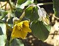 Physaliscrassifolia.jpg