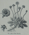 Picture Natural History - No 379 - The Daisy.png
