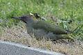 Picus viridis sharpei 017.jpg
