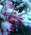 Pieris in snow April2008.jpg