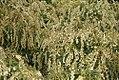 Pieris japonica Compacta 2zz.jpg