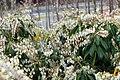 Pieris japonica Dorothy Wyckoff 4zz.jpg