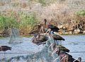 PikiWiki Israel 40733 Wildlife and Plants of Israel.JPG