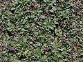 Pilosella officinarum 2021-09-08 1445.jpg