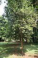 Pimenta Racemosa.jpg