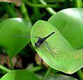 Pin-tailed Pondhawk. (Erythemis plebeja) Male - Flickr - gailhampshire.jpg