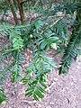 Pinales - Taxus baccata - 10.jpg