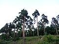Pine forest Alexandrov.jpg