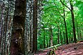 Pine forest and beech forest.jpg