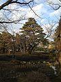 Pine trees in Kenroku Garden.jpg