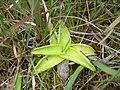 Pinguicula grandiflora.JPG