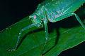 Pink-eyed Katydid (Tettigoniidae) (10745650203).jpg