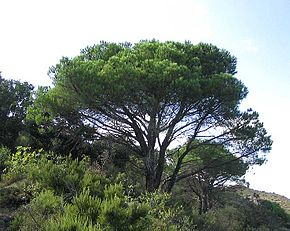 Pin plante wikip dia - Difference entre pin et sapin ...