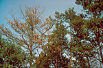 Pinus echinata killed by Phytophthora.jpg
