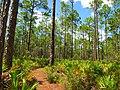 Pinus elliottii forest3.jpg