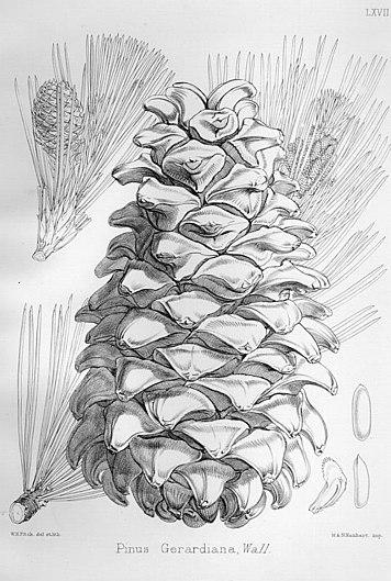 Pinus gerardiana Illustration highRes.jpg
