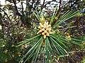 Pinus gerardiana India3.jpg