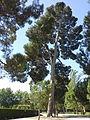Pinus halepensis Retiro.jpg