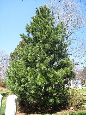 Pinus koraiensis - Image: Pinus koraiensis, Mount Auburn Cemetery