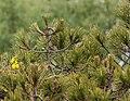 Pinus nelsonii.jpg