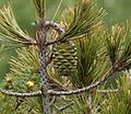 Pinus nelsonii (Nelson's Pinyon) - immature cone - Flickr - S. Rae.jpg