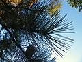 Pinus nigra (1111) 11.JPG