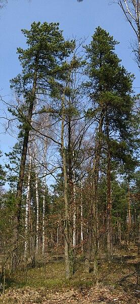 File:Pinus rigida and banksiana.jpg