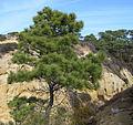 Pinus torreyana at State Reserve.jpg