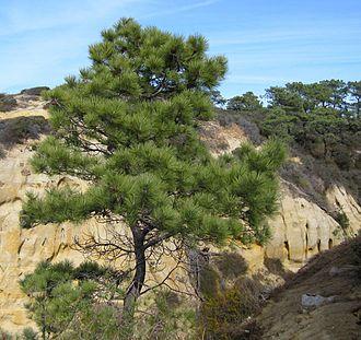 Guy Fleming - Image: Pinus torreyana at State Reserve