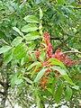 Pistacia terebinthus. Carnapiu blanqueru.jpg