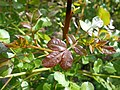 Pistacia terebinthus 2017-05-23 0928.jpg