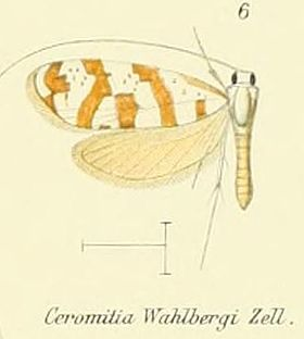 Pl.2-06-Ceromitia wahlbergi Zeller, 1852.JPG