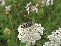 Plagionotus floralis 2009.07.08.JPG