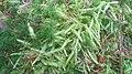 Plagiothecium undulatum Rold Skov 2.JPG
