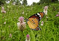 Plain Tiger Danaus chrysippus female by Dr. Raju Kasambe DSCN8477 (14).jpg